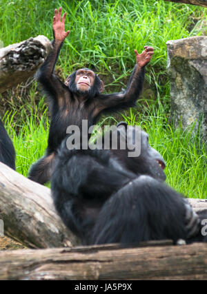 Baby Schimpanse anbetet. - Stockfoto