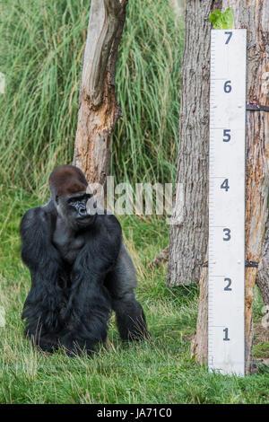 London, Großbritannien. 24 August, 2017. Gorillas Höhe wird überprüft - Die jährliche wiegen - in lebenswichtigen - Stockfoto
