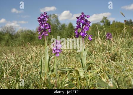 Green-winged Orchid - Anacamptis morio - Stockfoto