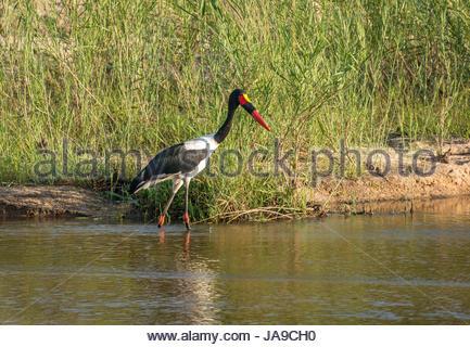 Saddle billed Stork, Ephippiorhynchus senegalensis, waten im Fluss, Sabi Sands Game Reserve safari, Krüger Nationalpark, - Stockfoto
