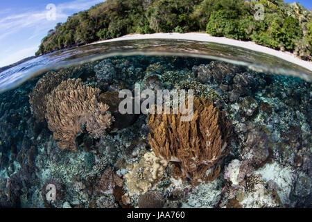Gesunde Korallen wachsen in den Untiefen in der Nähe von einer entfernten, tropischen Insel in der kleinen Sunda - Stockfoto