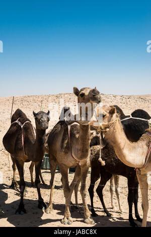 Kamele auf einer einsamen im Gouvernement Dhofar, Oman - Stockfoto