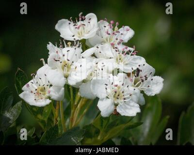 Nahaufnahme von Weißdorn blühen - Stockfoto