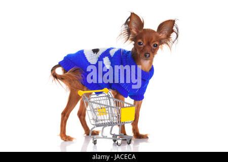 Toy Terrier mit Warenkorb isoliert auf weiss. Lustige kleine Hund. Russkiy Toy Terrier auf weißem Hintergrund - Stockfoto
