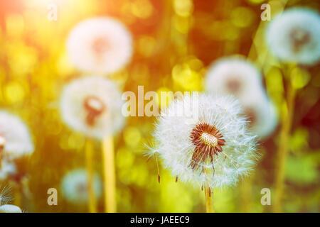 Der Löwenzahn Blowballs unter Sonne Flares sind Samen Windrichtung startbereit - Stockfoto