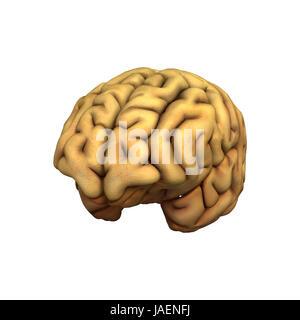 Digitale 3D Rendern eines menschlichen Gehirns isoliert auf weißem Hintergrund - Stockfoto