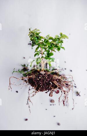 Bonsai Pflanzen entwurzelt - Stockfoto