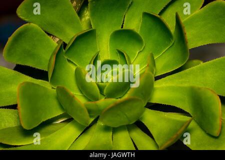 Extreme Nahaufnahme von Stein Lotus Pflanze Nematoden in einem Garten, eine schöne Henne und Küken oder Rosette - Stockfoto