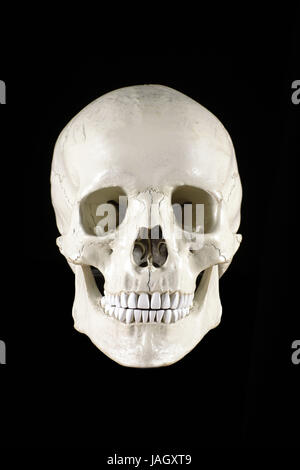 Menschlicher Schädel - Stockfoto