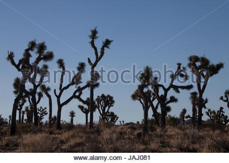 Joshua Bäume, Yucca Brevifolia, bei Sonnenaufgang im Joshua Tree National Park. - Stockfoto