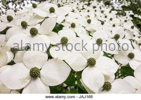 Hartriegel Blumen (Cornus Florida) im Sequoia National park ...