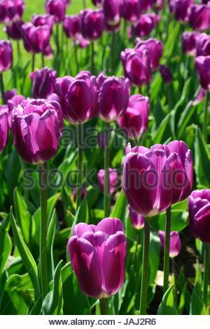 Violette Tulpen im öffentlichen Garten im Frühjahr. - Stockfoto