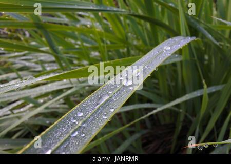 Frischer Tau auf grünen Blättern. Natur-Hintergrund und Textur. Textfreiraum - Stockfoto