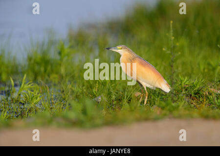 Adult Squacco Heron (Ardeola Ralloides) Jagd am Ufer eines Sees in Nordgriechenland - Stockfoto