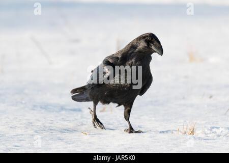 Ein neugierig Rabe gehen auf Schnee - Stockfoto