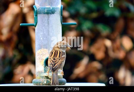 Weiblicher Haussperling (Passer Domesticus) Essen Samen aus einem Garten Vogelhäuschen - Stockfoto