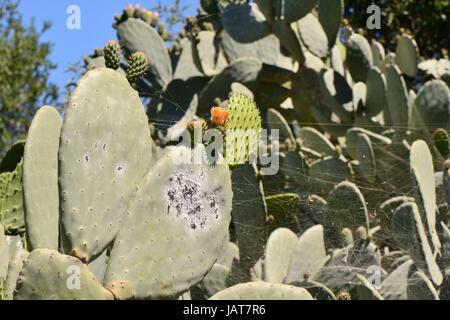 Cochenille Insekt (Dactylopius Coccus), Kolonie von Schildläusen auf Feigenkaktus / Barbary Fig, Gran Canaria, Kanarische - Stockfoto