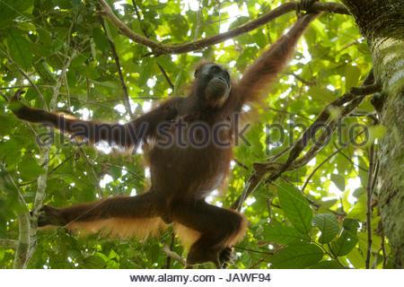 Eine weibliche Bornean Orangutan, Pongo Pygmaeus Wurmbii, Kletterbäume in Gunung Palung Nationalpark. - Stockfoto