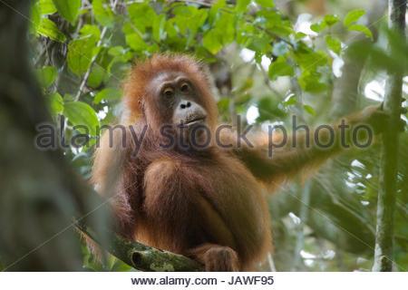 Eine junge Bornean Orangutan, Pongo Pygmaeus Wurmbii, ruht auf einem Baum im Gunung Palung Nationalpark. - Stockfoto