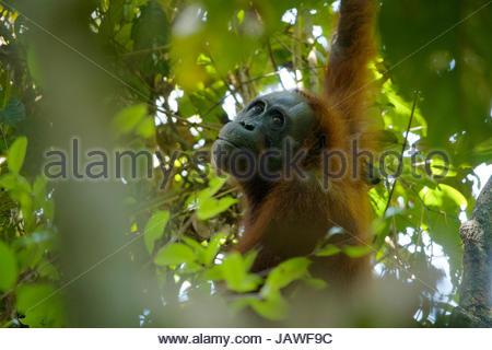 Eine Erwachsene weibliche Bornean Orangutan, Pongo Pygmaeus Wurmbii, ruht auf einem Baum im Gunung Palung Nationalpark. - Stockfoto