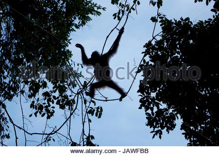 Erwachsene weibliche Bornean Orangutan, Pongo Pygmaeus Wurmbii, mit einem verletzten linken Fuß schwingt von den - Stockfoto