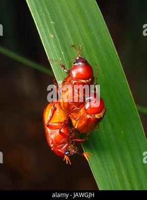 Mai Käfer, Phyllophaga Arten, Paarung. - Stockfoto