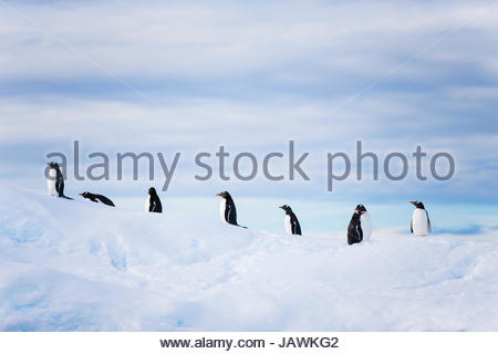 Pinguine auf einem Eisberg in der Antarktis. - Stockfoto