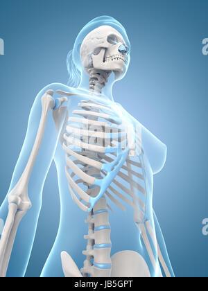 medizinische Illustration der weiblichen Skelett - Stockfoto