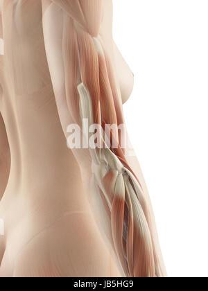 Trizeps - weibliche Anatomie Muskeln Stockfoto, Bild: 75055513 - Alamy