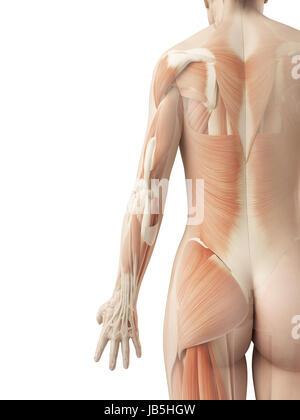 einen strammen Rückenmuskulatur - Stockfoto
