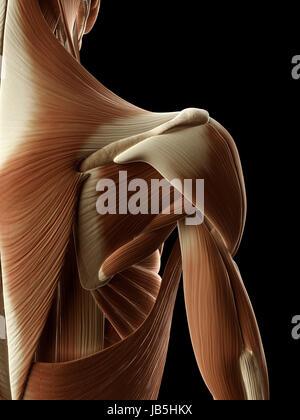 medizinische Illustration der die Schultermuskulatur - Stockfoto