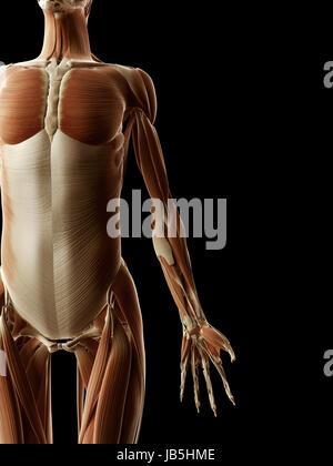 ABS - weibliche Anatomie Muskeln Stockfoto, Bild: 75055684 - Alamy
