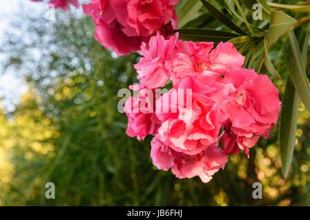 Rosa Nerium Oleander Blume am Baum im Garten - Stockfoto