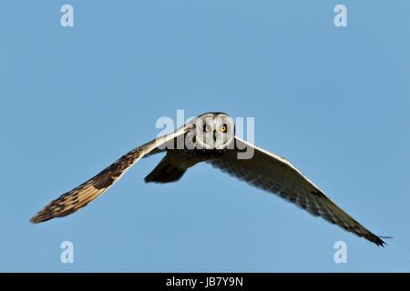 Short-Eared Eule Asio Flammeus im Flug und Jagd bei Tageslicht in Malacleit, North Uist, äußeren Hebriden Schottland - Stockfoto