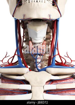 3D gerenderte Darstellung der Anatomie Hals - Stockfoto