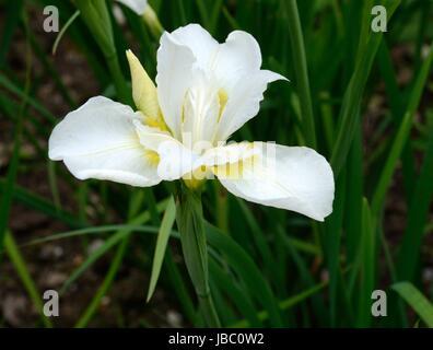 Iris weißen Wirbel sibirische Iris Iris Sibirica weiße Blume - Stockfoto