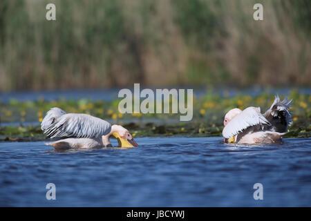 Rosapelikan (Pelecanus Onocrotalus) Fütterung im Fluß Donaudelta in Rumänien - Stockfoto
