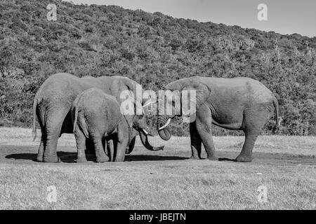 Afrikanische Elefanten treffen an einem Wasserloch im südlichen Afrika - Stockfoto