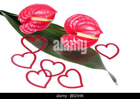 Flamongo Blume mit Herz Deko über einen weißen Hintergrund Stockfoto ...