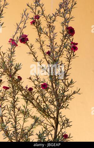 Manuka-Pflanze in voller Blüte - Stockfoto