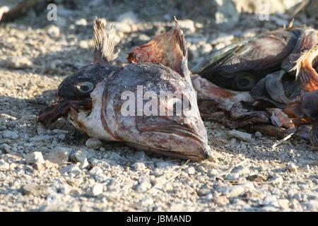 Abfälle von Fischen - Stockfoto