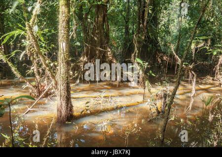 Überfluteten Regenwald oder Varzea Wald nahe dem Rand des Amazonas-Flusses, Rio Shiripuno, in Ecuador - Stockfoto