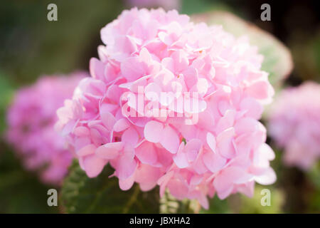 Beautful Rosa Hortensie Blumen blühen - Stockfoto