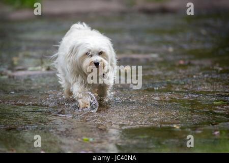 Ein Kleiner Weißer Hund Geht Durch Das Wasser. - Stockfoto