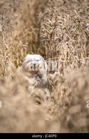 Ein Kleiner Weißer Hund Rennt Durch Ein Kornfeld. - Stockfoto