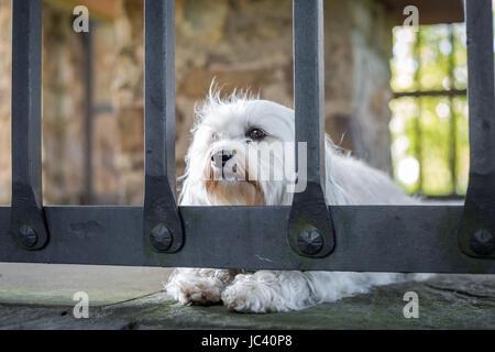 Ein Kleiner Weißer Hund Liegt Hinter Einem Gitter Auf Dem Steinboden. - Stockfoto