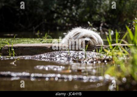Ein Kleiner Weißer Hund Macht Eine Pause ein Einems sehen. - Stockfoto