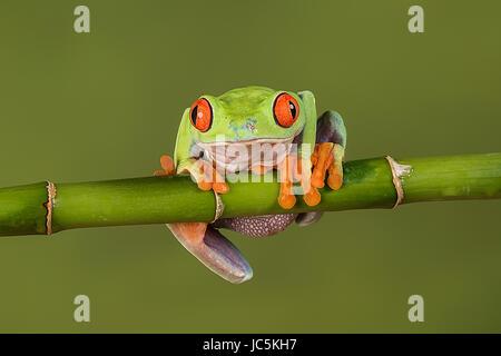 Eine Nahaufnahme Portrait eines roten Augen Laubfrosch hängen an einem Bambussprossen, wir freuen uns und zu fallen - Stockfoto