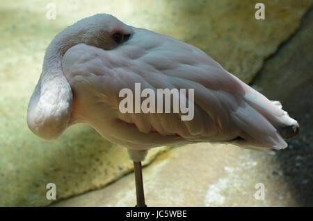 Flamingo - Stockfoto