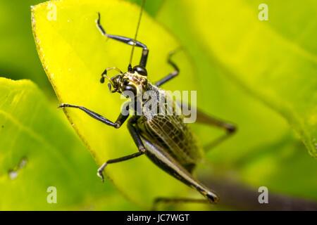 Großen Heuschrecke Insekten stehen auf einem Blatt - Stockfoto